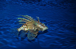 Lionfish in aquarium. Lionfish is  the popular  aquarium specimen. Lionfish will eat smaller fishes, ornamental shrimps and crabs. Lionfish lives in Africa, Indo Stock Photography