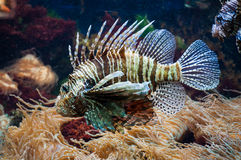 Lionfish in Aquarium. A lionfish swimming around in a saltwater aquarium Stock Photography