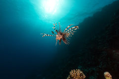 Lionfish and aquatic life in the Red Sea. Stock Image