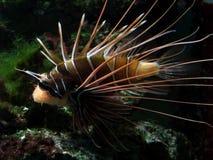 Lionfish arancio e bianco Fotografia Stock Libera da Diritti