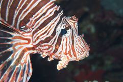 Impressive Lionfish Royalty Free Stock Photos