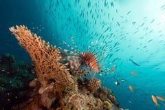 Lionfish au-dessus d'un corail de table en Mer Rouge. Photo libre de droits