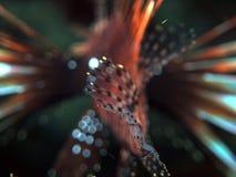 Lionfish bakifrån med hans kropp ut ur fokus Arkivfoton