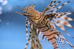 Lionfish. A beautiful Lionfish enjoying a good swim Royalty Free Stock Images