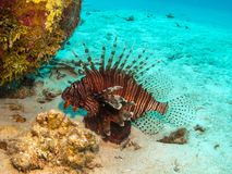 Lionfish in Belize royalty-vrije stock foto's
