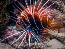 Lionfish bij nacht, macrofotografie Close-upfoto op de ertsaders van maldivian kust wordt genomen die royalty-vrije stock foto's