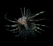 Lionfish on black Royalty Free Stock Photo