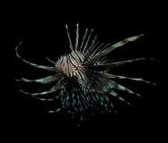 Lionfish on black Royalty Free Stock Photo