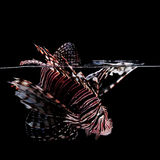 Lionfish on black background Royalty Free Stock Photos