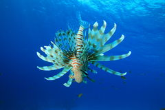 Lionfish on blue water background Royalty Free Stock Photography