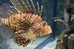 Lionfish bonito Fotos de Stock Royalty Free