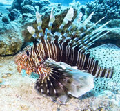 Lionfish at the bottom of tropical sea, underwater Stock Photography