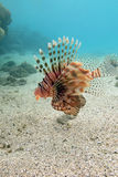 Lionfish at the bottom of tropical sea - underwater Stock Images