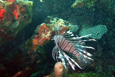 Lionfish in the Caribbean Stock Photography