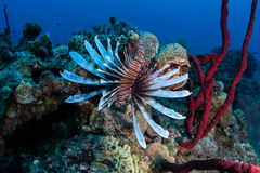 Lionfish in Caribbean Sea. A venomous lionfish (Pterois volitans) hunts for prey on a Caribbean coral reef. This species was introduced to the Caribbean in the Royalty Free Stock Images