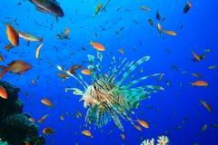 Lionfish circondato da Lyretail Anthias Immagine Stock