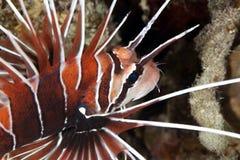 lionfish clearfin Стоковые Фотографии RF
