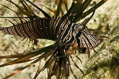 lionfish clearfin Стоковая Фотография RF