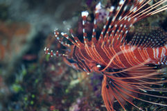 Lionfish close-up royalty free stock images