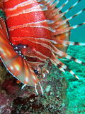 Lionfish close up Stock Image