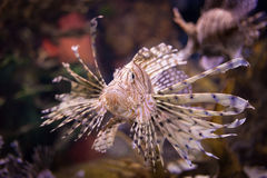 Lionfish. Close up shot of lionfish Stock Photography