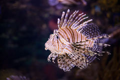 Lionfish. Close up shot of lionfish Royalty Free Stock Photography