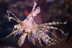 Lionfish. Close up shot of lionfish Stock Image