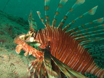 Lionfish Closeup  Stock Photography