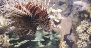 Lionfish closeup in 4K UHD. Incredible closeup shot of a lionfish. 4K UHD footage stock video footage