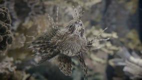 Lionfish closeup in 4K UHD. Incredible closeup shot of a lionfish. 4K UHD footage stock footage