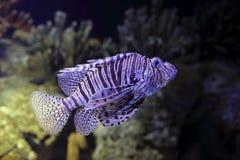 Lionfish closeup Royalty Free Stock Photo
