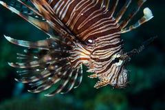 Lionfish coloré dans Alor, Indonésie Images stock