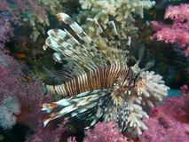 Lionfish on a colorful coral reef. Lionfish (Pterois) on a colorful coral reef during a scuba diving in red Sea, Egypt Stock Image