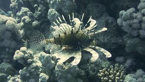 Lionfish among colorful small fishes in the coral reef underwater stock footage