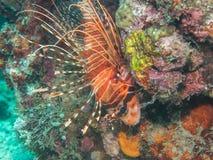 Lionfish colorido en el coral fotografía de archivo libre de regalías