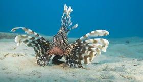 Lionfish común en el fondo del mar arenoso. Imagen de archivo