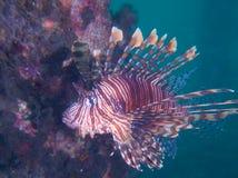 Lionfish común hermoso a la una de mis sitios macros del favorito en Sulawesi del norte, embarcadero del paraíso, cerca de Pulisa Imagen de archivo