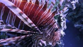 Lionfish común, natación del mariposa-bacalao bajo el agua metrajes