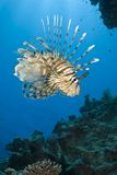 Lionfish común tropical. Imágenes de archivo libres de regalías