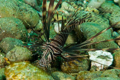 Lionfish commun à Ambon, Maluku, photo sous-marine de l'Indonésie Photographie stock libre de droits