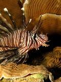 Lionfish commun Photographie stock libre de droits