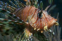 Lionfish commun Photos libres de droits