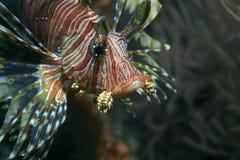 Lionfish commun Images libres de droits