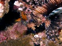Lionfish commun Photo stock