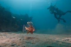 Lionfish commun (milles de Pterois) Photographie stock libre de droits