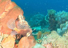 Lionfish comum Foto de Stock