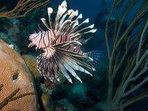 Lionfish comum 01 Imagem de Stock Royalty Free