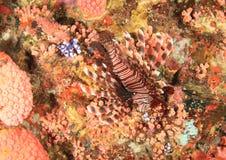 Lionfish comum fotografia de stock royalty free