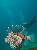 Lionfish comune con l'operatore subacqueo nei precedenti immagini stock libere da diritti