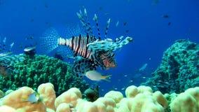 Lionfish comune, volitans del Pterois Fotografia Stock Libera da Diritti